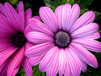 African Daisy Duo