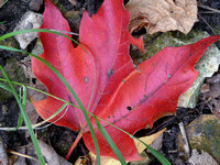 Red Maple Leaf Standout