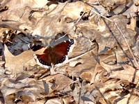 Mourning Cloak-Spring's First Butterfly