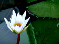 Hope in a Lily